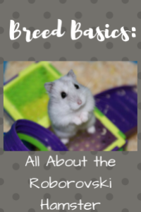 Breed Basics: All About the Roborovski Hamster - Bailey's